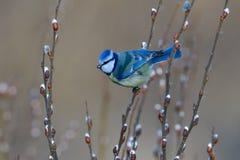 蓝冠山雀在树的冬天 免版税库存照片