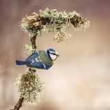 蓝冠山雀在雪下坐有青苔的一根美丽的棍子 免版税图库摄影