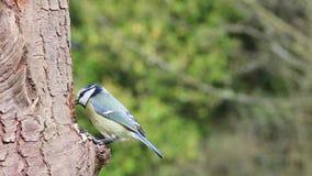 蓝冠山雀庭院鸟树皮 影视素材