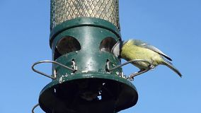 蓝冠山雀庭院鸟 股票视频