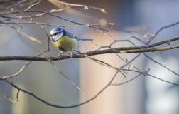 蓝冠山雀歌手 库存照片