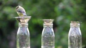 蓝冠山雀装瓶鸟黄色 影视素材