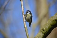 蓝冠山雀鸟在布莱克浦,兰开夏郡,英国拍摄了 免版税库存图片