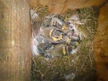 蓝冠山雀鸟 库存图片