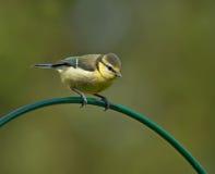 蓝冠山雀,少年 图库摄影