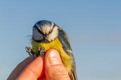 蓝冠山雀, Cyanistes caeruleus,鸟在鸟条带的一只妇女手上 库存照片