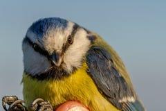 蓝冠山雀, Cyanistes caeruleus,鸟在鸟条带的一只妇女手上 免版税图库摄影