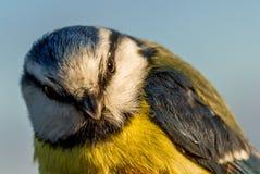 蓝冠山雀, Cyanistes caeruleus,鸟在鸟条带的一只妇女手上 库存图片