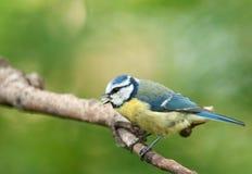 蓝冠山雀(帕鲁斯montanus) 库存照片