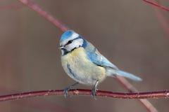 蓝冠山雀关闭 图库摄影