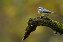 蓝冠山雀 库存照片