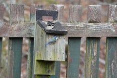 蓝冠山雀(Cyanistes caeruleus)在外形 免版税库存图片