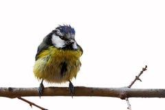 蓝冠山雀(cyanistes caeruleus) 库存图片