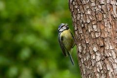 蓝冠山雀Cyanistes在树干栖息的Caeruleus 库存照片
