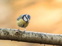 蓝冠山雀Cyanistes caeruleus,坐一个分支有金黄背景 免版税库存照片