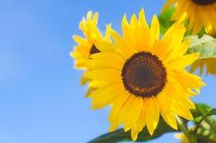 蓝天向日葵 库存图片