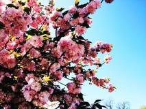 蓝天和桃红色树 免版税库存图片