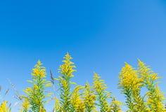 蓝天和菊科植物 免版税图库摄影