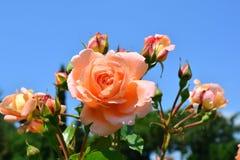 蓝天和非常神秘园美丽的大桃红色玫瑰  库存图片
