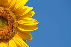 蓝天的向日葵 库存图片