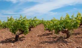 蓝天的塞浦路斯年轻葡萄园 免版税图库摄影