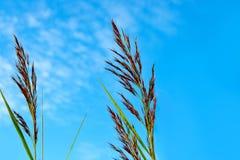 蓝天的芦苇秸杆 库存照片