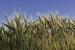 蓝天的麦子 免版税库存照片