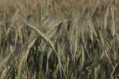 蓝天的麦子 免版税库存图片