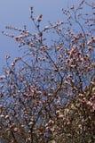 蓝天背景的开花的佐仓在春天 免版税库存图片