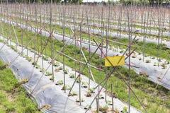蓝天背景的瓜农场 免版税库存照片