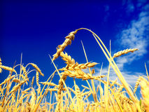 蓝天麦子 免版税库存照片