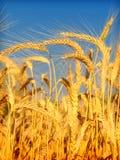 蓝天麦子 免版税库存图片