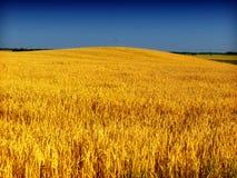 蓝天麦子 库存图片