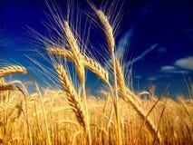 蓝天麦子 免版税图库摄影