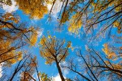 蓝天,树顶视图从底部到上面,秋天 图库摄影