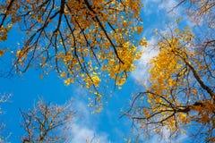 蓝天,树顶视图从底部到上面,秋天 库存图片