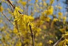 蓝天,黄色连翘属植物花 库存图片