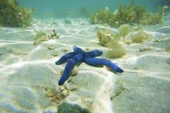 蓝星鱼 免版税图库摄影