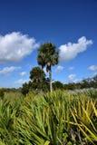 蓝棕棕榈树 免版税库存照片