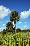蓝棕棕榈树 图库摄影