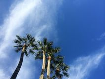 蓝棕棕榈树 库存图片