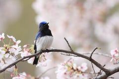蓝白捕蝇器 免版税库存图片