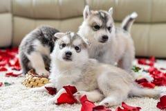 蓝眼睛多壳的小狗西伯利亚人 图库摄影