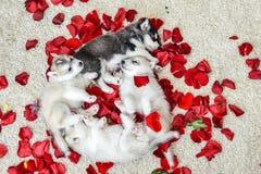 蓝眼睛多壳的小狗西伯利亚人 免版税库存照片