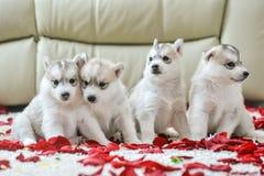 蓝眼睛多壳的小狗西伯利亚人 库存照片