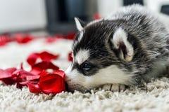 蓝眼睛多壳的小狗西伯利亚人 免版税图库摄影