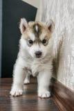 蓝眼睛多壳的小狗西伯利亚人 免版税库存图片