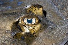 蓝眼睛察觉了黄貂鱼 免版税库存图片