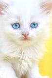 蓝眼睛小猫白色 图库摄影
