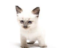 蓝眼睛小猫 免版税库存照片